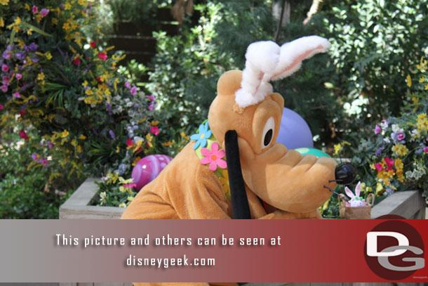 Pluto was dressed as a rabbit for the roundup