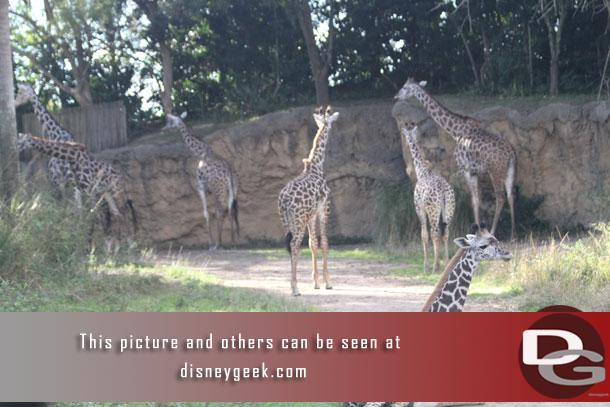 Several young giraffe are part of the group now.